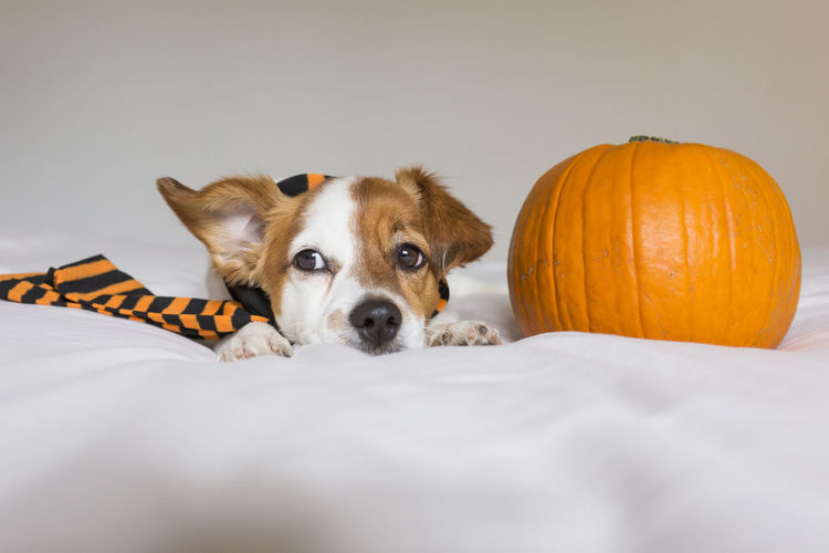 cute young little dog lying on bed next to his owners legs wearing a black and orange socks. Halloween concept. view from above Haunt Humor Joke Animal Monster Costume Pet Dog Terror Cute Autumn Thanksgiving Bed Horror October Face HEAD Light Funny Winter Scary White Dead Nightmare Pumpkin Candle Ghost Witch Evil Trick  Treat Devil Celebration Halloween Sheet Blanket Holiday Scared Little Hat Portrait Orange Scarf Black Home Indoors  Love Look Intelligent Ears