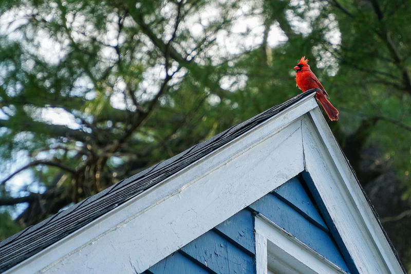 Red cardinal on rooftop