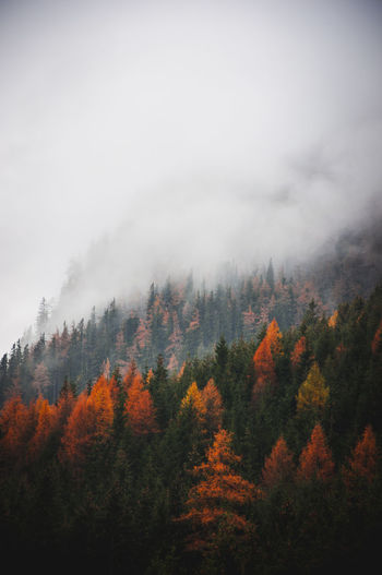 autumn 002. Tree Autumn Beauty In Nature Sky Plant Tranquil Scene Scenics - Nature Change Forest Land No People Tranquility Non-urban Scene Nature Environment Fog Mountain Cloud - Sky Orange Color Day WoodLand Outdoors Pine Tree Coniferous Tree Pine Woodland Autumn colors EyeEm Best Shots EyeEm Nature Lover EyeEm Gallery Foggy Foggy Morning Foggy Weather Foggy Landscape Autria Österreich Styria