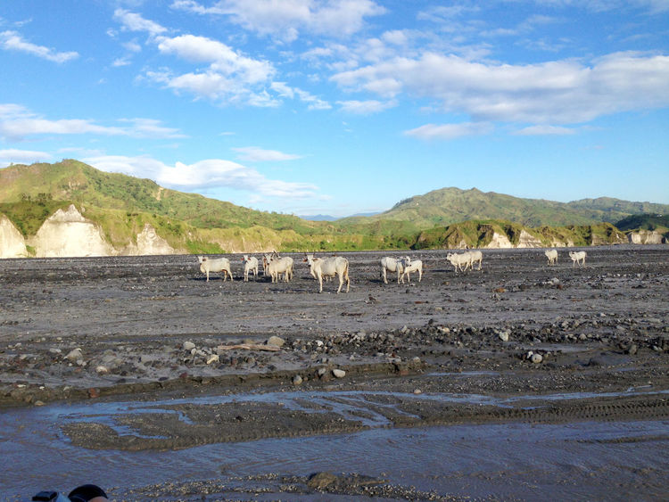 Mount Pinatubo Trekking Tour Philippines Travel Wanderlust Adventure Animal Themes Beauty In Nature Cloud - Sky Day Domestic Animals Jeep Tours Landscape Large Group Of Animals Livestock Mammal Mount Pinatubo Mountain Nature No People Outdoors Scenics Sheep Sky Tree Volcanic Landscape