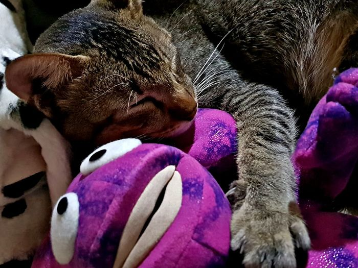 Purple Indoors  Pets Mammal Domestic Animals Animal Themes Close-up Cat Stuffed Toy Cat And Toys Pet Portraits