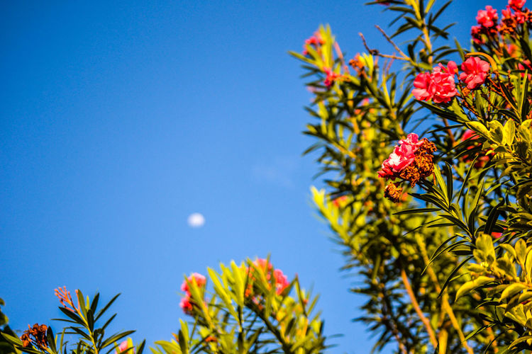 Luna, cielo, flores. Beauty In Nature Blue Clear Sky Close-up Day Flower Fragility Freshness Green Color Growth Leaf Low Angle View Moon Moon Day Moon Light Moon Shots Moon_collection Moonporn Nature No People Outdoors Plant Sky Tranquility Tree