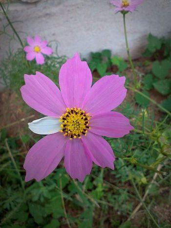 Beautiful Flaws Cosmos Cosmos Flower Deformation EyeEm Nature Lover Nature Blooming Cosmos Flowers Deformed Deformity Flower Flower Head Mutation Nature Nature_collection Pink Flower Pink Flowers