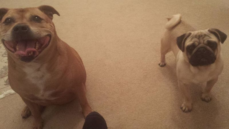 Clara & Boris Staffies There Softer Than You Think Staffordshire Bull Terrier Pug Staffy