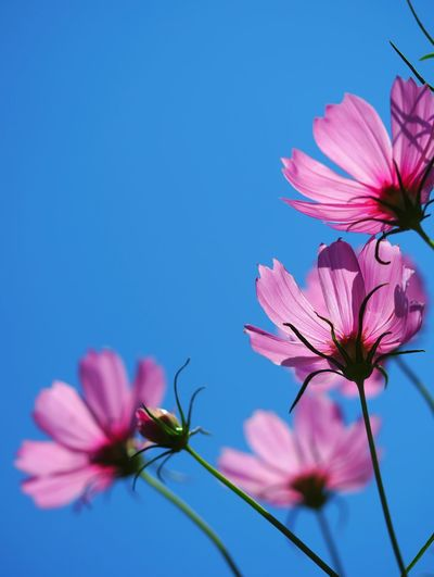 Close-up of pink cosmos flowers against clear blue sky