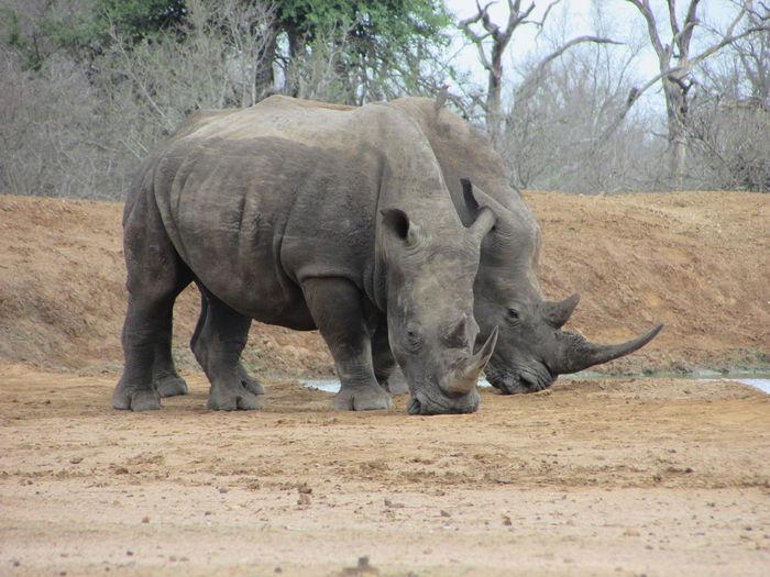 Wildlife Animals Rhinoceros Animals In The Wild Animals Nature Endangered Species Endangered Animals Wildlife Photography African Safari African Wildlife