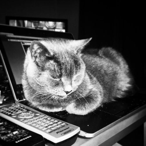 Laptopwarmer Attentionseeker Millycat Greycat russianblue cat cats pet petstagram kitten kittens catstagram pets kitty catlovers catsofinstagram animal catlover ilovemycat meow picpets instacat 貓 ねこ kucing