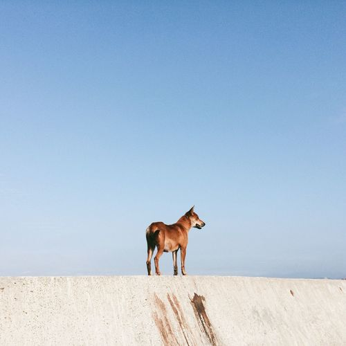 Dog On Retaining Wall Against Clear Sky