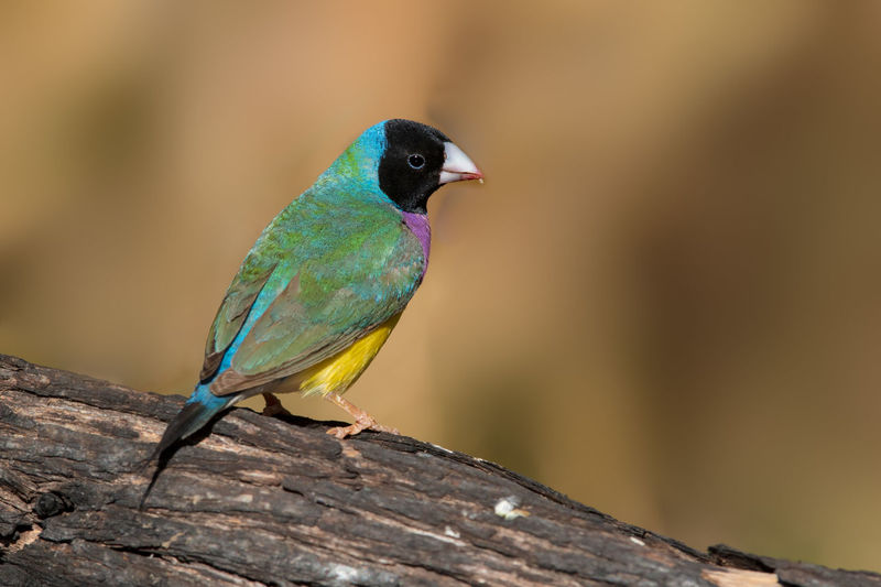 Gouldian finch black-headed male Chloebia Gouldiae Gouldamadine Gouldian Finch Kimberley Australia Animal Themes Animal Wildlife Animals In The Wild Beauty In Nature Bird Day Nature No People One Animal Outdoors