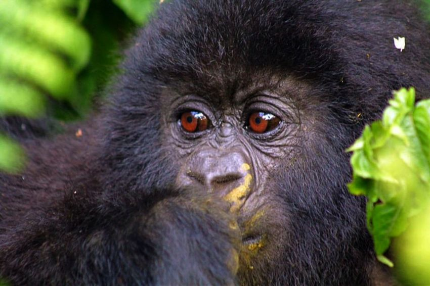 Animal Themes Animal Wildlife Animals In The Wild Close-up Day Eyes Gorilla Mammal Motion Photography No People One Animal Outdoors