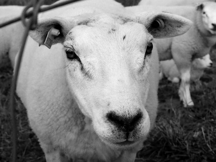 Livestock Domestic Animals Animal Themes Mammal Farm Cow Field Cattle Agriculture Close-up Focus On Foreground No People One Animal Day Portrait Young Animal Outdoors Nature Looking At Camera