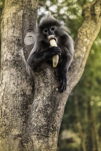 Monkey eating banana on tree in forest