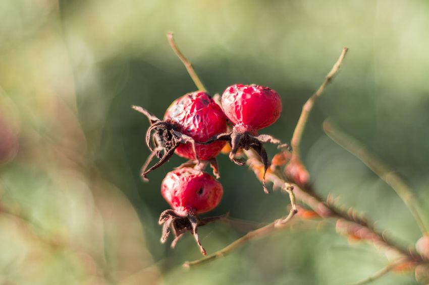 Hagebutte Hagebutte  Hagebuttenstrauch Herbst Herbststimmung Ostfriesland Close-up Day Food Frucht Fruit Früchte Hagebutten No People Outdoors Red
