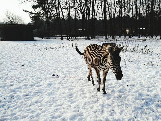 Animal Photography Zebra Zebra The Zoo Zoo Zoo Animals  Myślęcinek Bydgoszcz Wintertime Winter