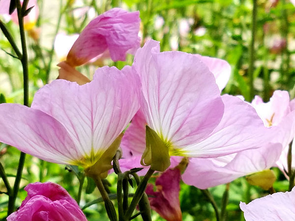 Beauty In Nature Close-up Delicate Detail Detailed Flower Head Flower Veins Flowers Fragility Nature Pink Pink Flowers