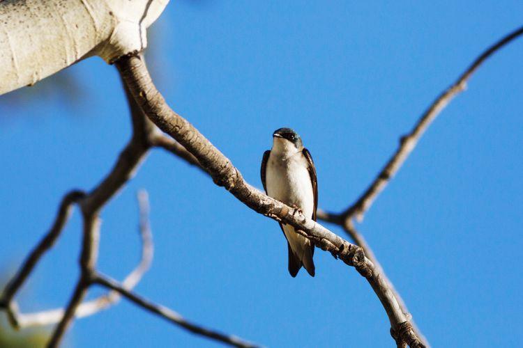tree swallow Bird Photography Animal Wildlife Utah Tree Swallow Bird Perching Tree Branch Clear Sky Blue Sky Animal Themes