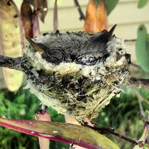 Baby humingbirds at my place! Babyhumingbirds Humingbirds Picaflor Nest chicks lifeisbeautiful life lifeisajourney nature