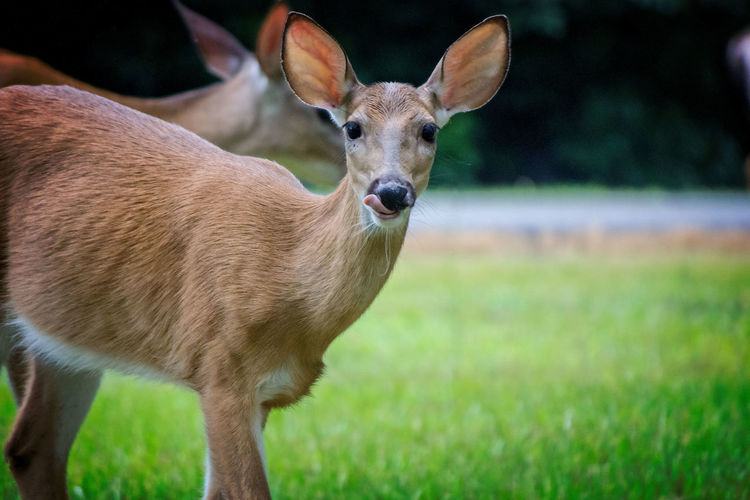 Deer Looking at Camera while Licking Lips Animal Animal Themes Animal Wildlife Animals In The Wild Day Deer Deer Licking Lips Deer Looking At Camera Field Focus On Foreground Grass Land Mammal Nature No People One Animal Standing