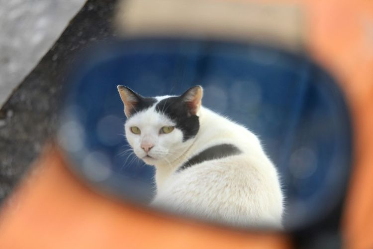 Retrovisor Mirror Kitten Pets Portrait Feline Domestic Cat Looking At Camera Young Animal Eye Sitting Blue Eyes Vehicle Mirror Animal Eye Cat