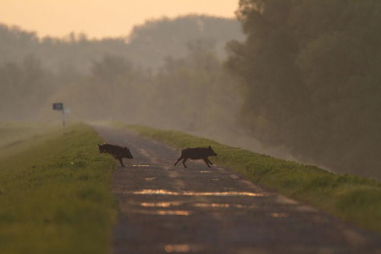 Wild boar crossing the road in the dawn, kopacki rit