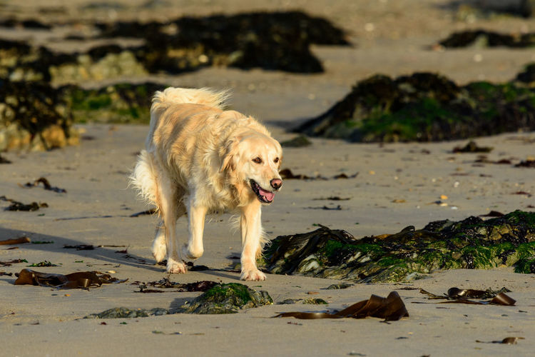 Golden retriever walking on a beach Freedom Golden Retriever Happiness Morning Light Seaweed Animal Themes Beach Day Dog Dog Walking On The Beach Domestic Animals Goldenretriever Mammal Morning Walk No People One Animal Outdoors Pets Sand