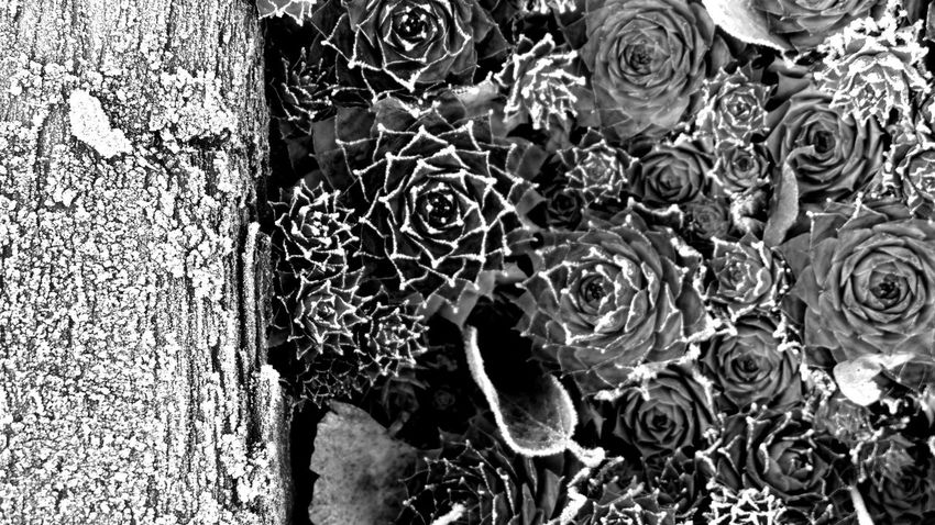 iced succulents Frosty Mornings Autumn Hoarfrost Natural Structures Blackandwhite Atmospheric Mood Still Life Pattern, Texture, Shape And Form Botanical Structures In Nature Structures Shadowplay EyeEm Best Shots EyeEm Nature Lover EyeEm Selects EyeEm Best Shots - Black + White Monochrome No People Silence Succulents Succulents Backgrounds Full Frame Pattern Close-up Textured  Growing