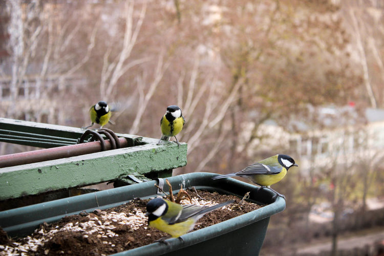 Great tit birds perching on metal railing