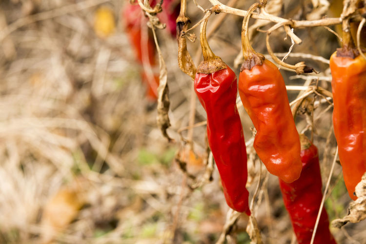 Close-up of red chili peppers hanging on plant