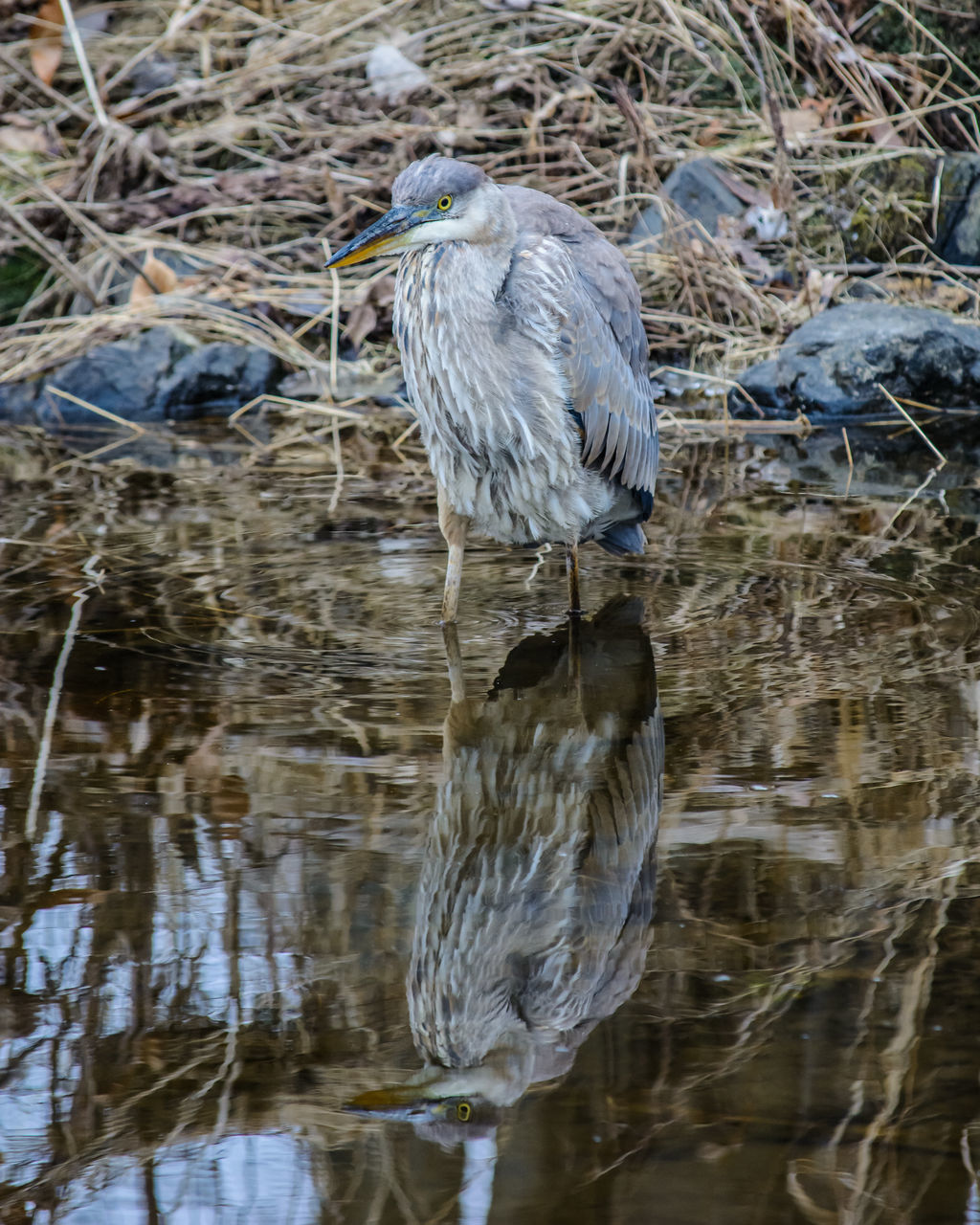 animal themes, bird, animals in the wild, one animal, heron, animal wildlife, waterfront, water, nature, day, reflection, gray heron, no people, outdoors, lake, perching, beauty in nature, close-up
