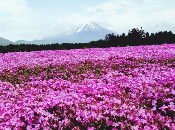 Mt. Fuji and pink flowers ❤️ Nature Flower EyeEm Nature Lover Mountains