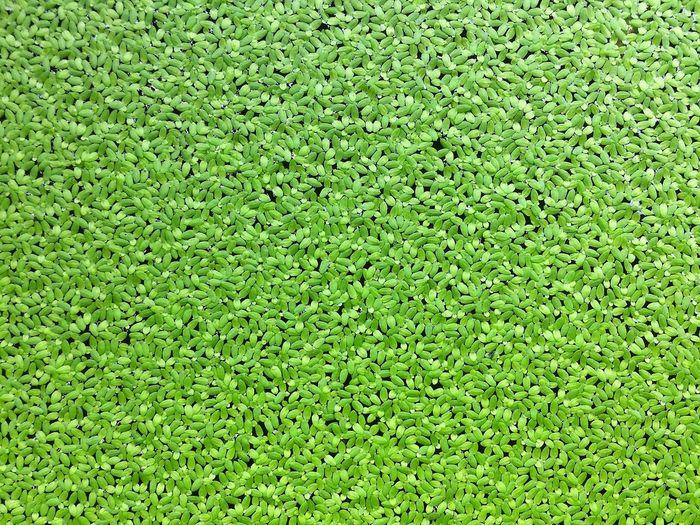 Duckweed Water