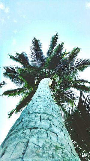 StandingTALL Coconut Tree Taking Photos MotoG-raphy Smartphonephotography GodsOwnCountry Kerala