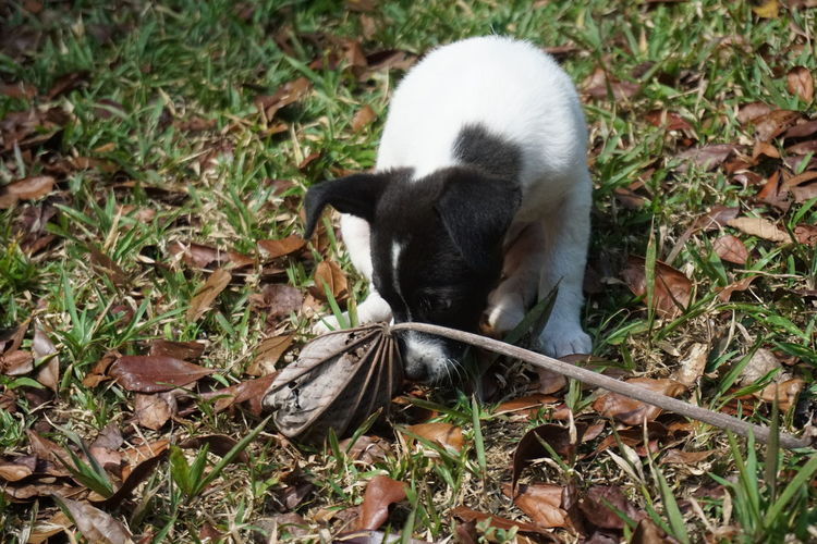 Autumn Autumn Leaves Jack Russell Sniffing Around Black And White Dog Cute Dog  Dog Grass Nature One Animal Sniffing Dog Sniffing Leaf Terrier