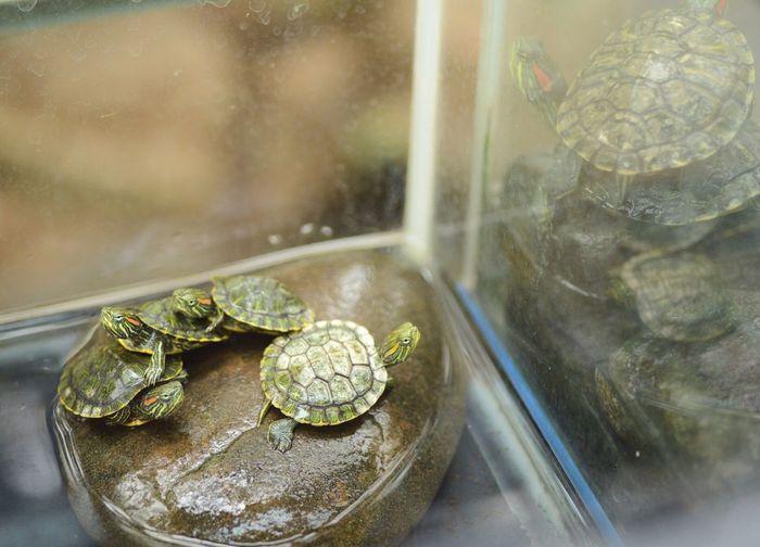 Small turtles in aquarium