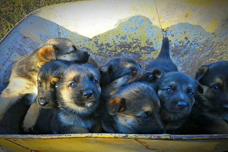 Pastores Alemanes Dog❤ Country Life Animal Wildlife Young Animal Animal Themes Dogs Of EyeEm Cachorros