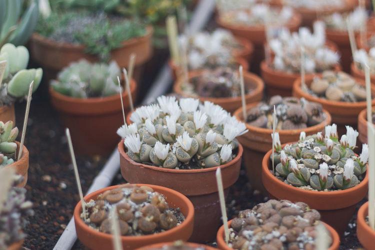 Flowering living rock cactus.