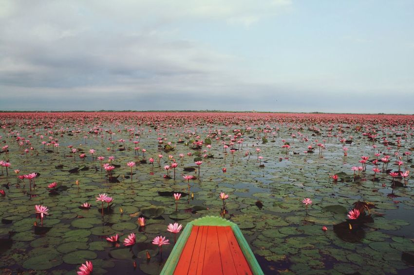 Nature Beauty In Nature Waterlilies Thailand Red Lotus Lake Beautiful Landscape