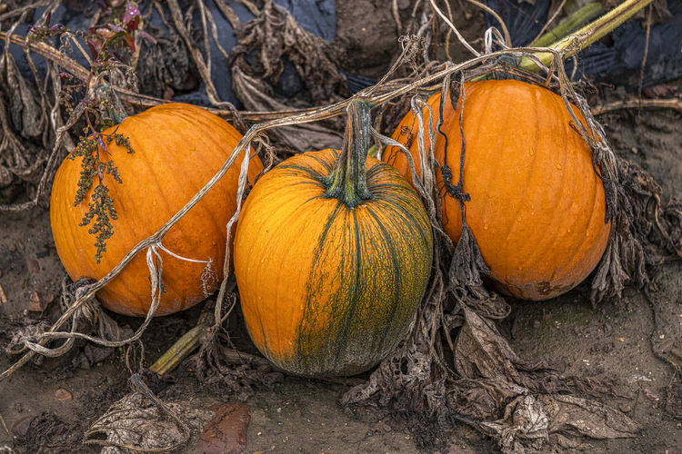 View of pumpkins on field during autumn