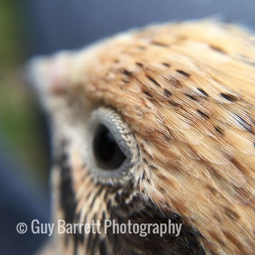 Wildlife Wildlife & Nature Macro Photography Bird Quail Macro