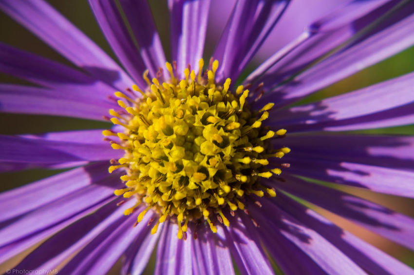 flower head Aster Beauty In Nature Blooming Close-up Flower Flower Head Fragility Freshness Macro Macro Photography Nature Nature Nature Photography Outdoors Petal Pink Color Plant Pollen Purple Yellow Maximum Closeness