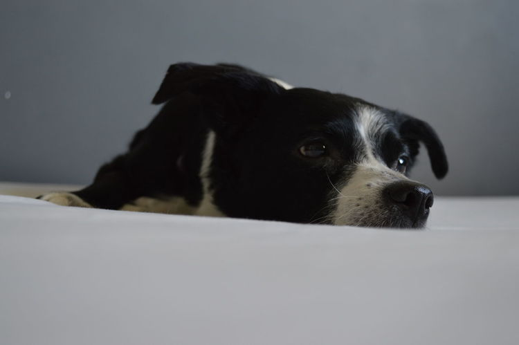 Brown Eyes Animal Themes Black And White Dog Close-up Day Dog Domestic Animals Indoors  Lazy Dog No People One Animal Pets Small Dog