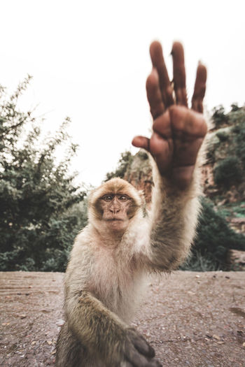 high 5 Primate Animal Wildlife Nature Outdoors Portrait Animal Morocco Cute Hand Animal Hand Wild Wildlife Yellow Brown Face Animal Face Fur Furry Furry Animal Close-up Wide Angle