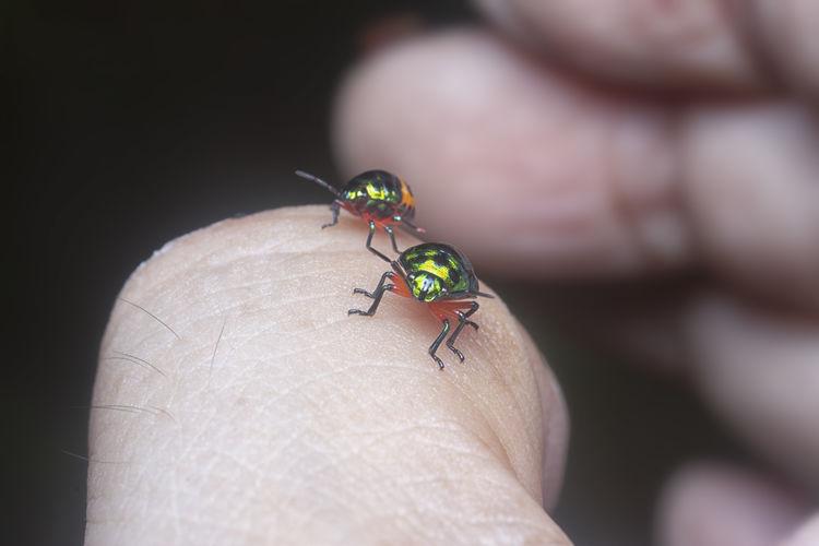 The colorful metallic jewel bug nymph.