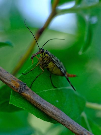 Scorpion fly Macro_captures Macro Insects Macro_collection Insect Invertebrate Animal Themes Animal Wildlife Animals In The Wild Animal One Animal Green Color Close-up Focus On Foreground Animal Wing Day Plant Animal Body Part Outdoors No People Nature