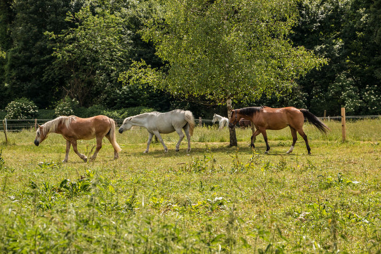 Horses on the green meadow Agriculture Animal Animal Family Animal Themes Animal Wildlife Day Domestic Domestic Animals Field Grass Group Of Animals Herbivorous Horse Land Livestock Mammal Nature No People Outdoors Plant Tree Vertebrate
