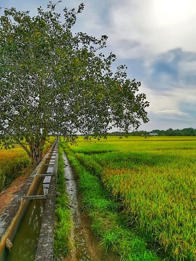 Agriculture Tree Nature Beauty In Nature Landscape Field Rice Field