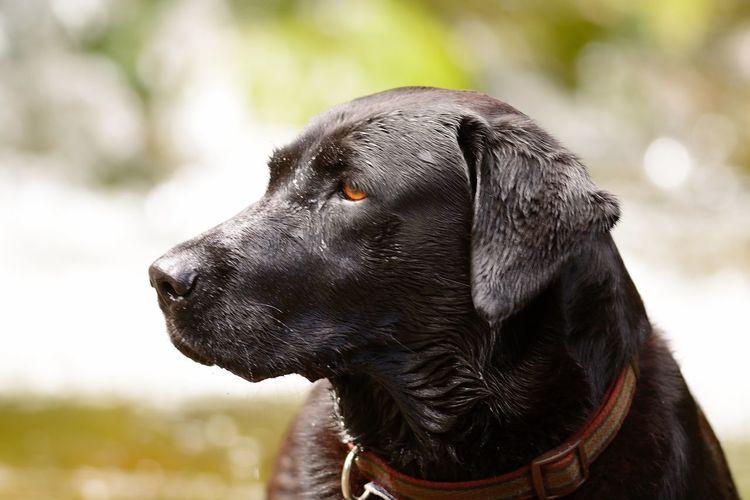 Close-up of wet black labrador looking away outdoors