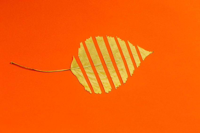 Autumn Autumn colors Autumn Leaves Art And Craft Close-up Colored Background Copy Space Creativity Cut Out Indoors  Leaf Mid-air Nature No People Orange Orange Background Orange Color Pattern Red Shape Single Object Still Life Studio Shot
