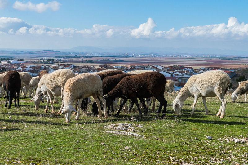 Sheeps Mammal