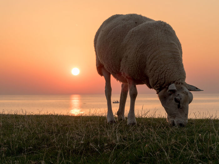 Sheep grazing on grassy field by sea against sky during sunset